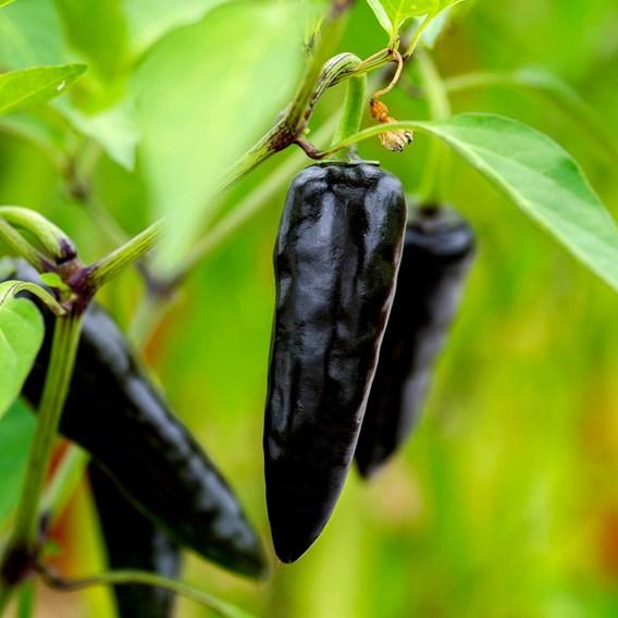 Pepper (Chilli) Hungarian Black (1) P10