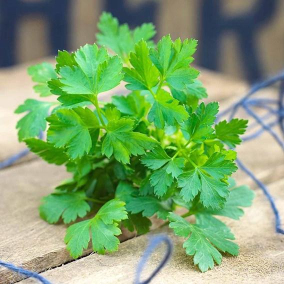 Herb Plant - Parsley Flat Leaf