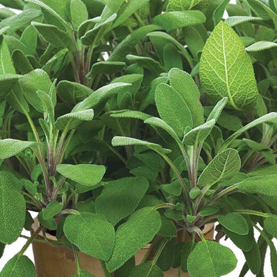 Herb Plant - Sage Growers Friend