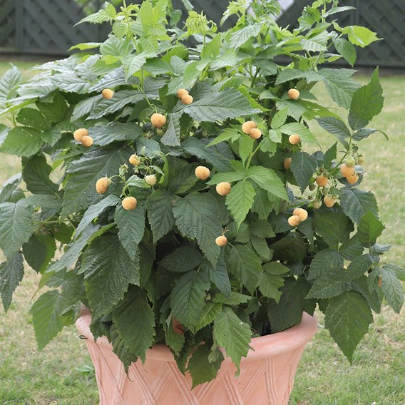 Raspberry Summer Lovers Patio Gold