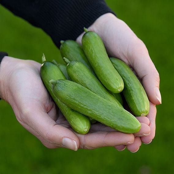 Cucumber Baby Rocky (1) 5ltr