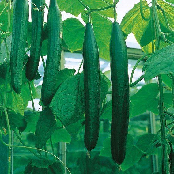 Cucumber Bella (3)
