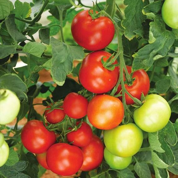Tomato Grafted Moneymaker (1) P10