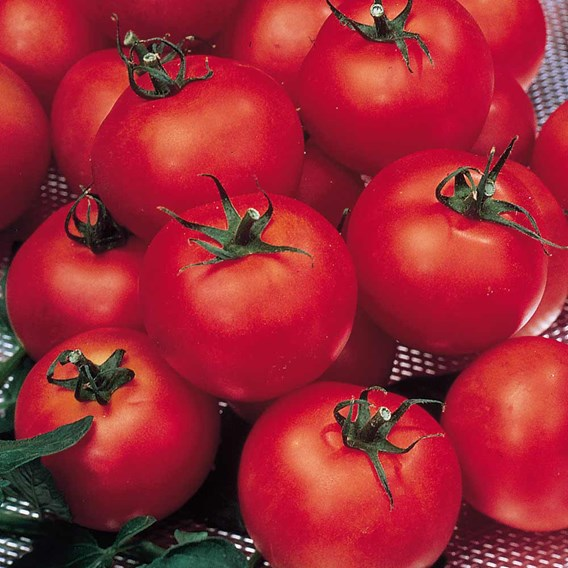 Tomato Grafted Shirley (1) P10