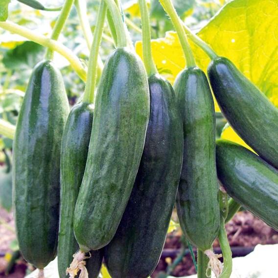Cucumber Grafted Mini Star (1) P10