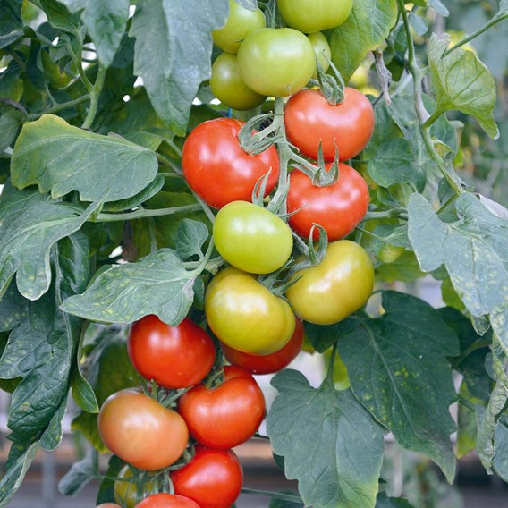 Tomato Grafted Crimson Crush (3)