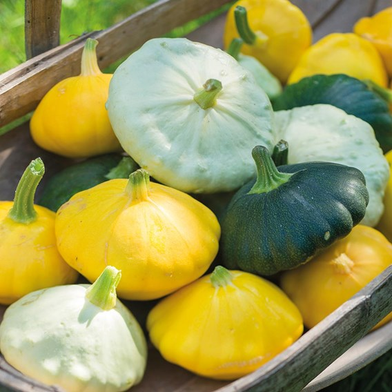 Squash Patty Pan Collection (3)