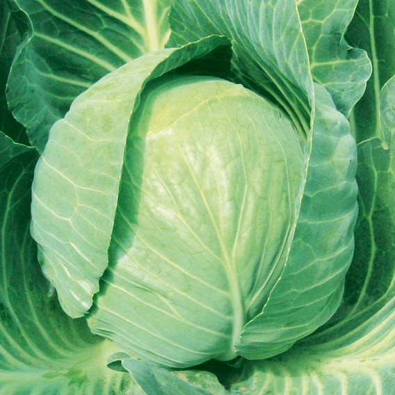 Cabbage Mozart (6) P9