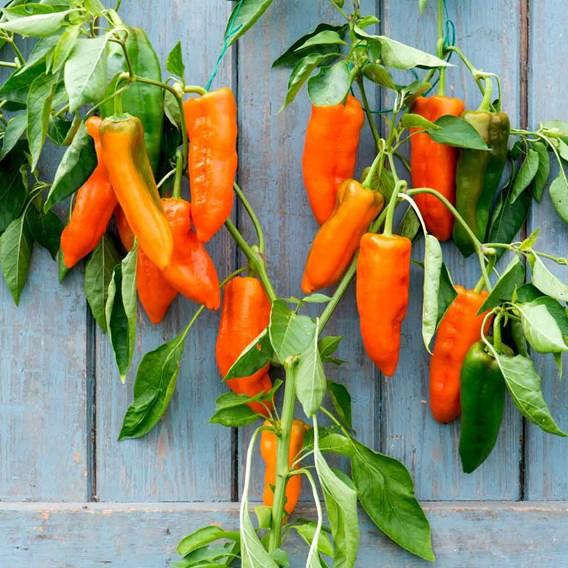 Pepper Grafted Orange Kiss (1) P10