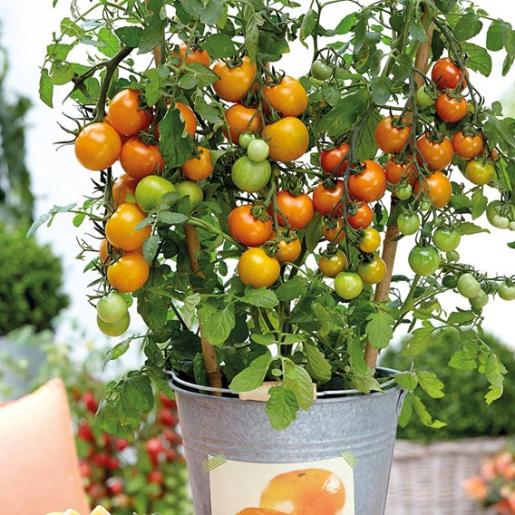 Tomato Grafted Tutti Frutti Collection (3)