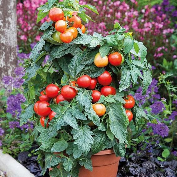 Tomato Grafted Summerlast (3)