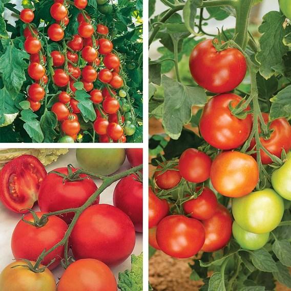 Tomato Grafted Gardeners Favourite Coll' (6) P10