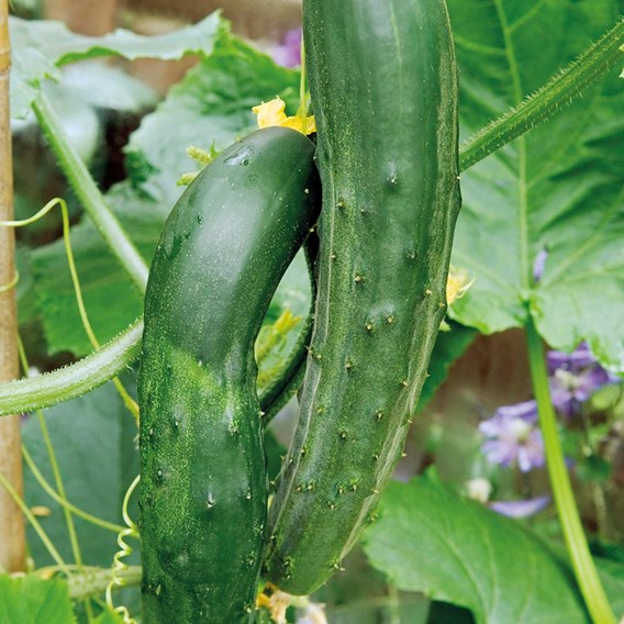 Cucumber Grafted Bush Champion (3)