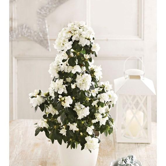 Azalea Tree White Azalea Tree