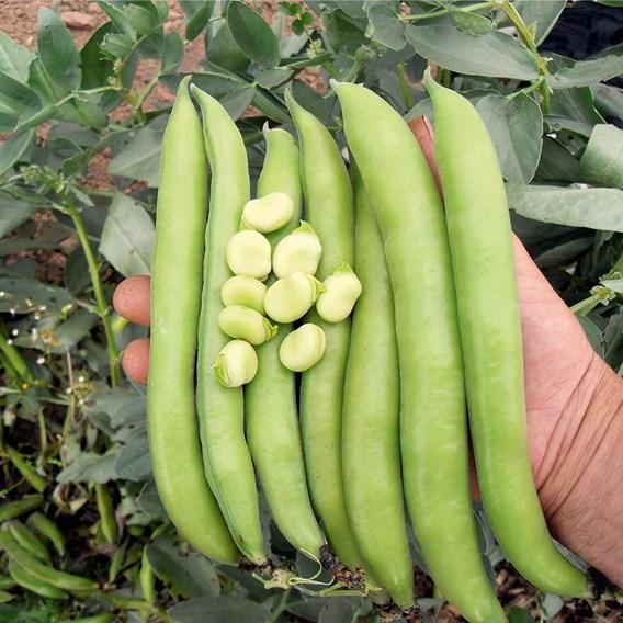 Broad  Bean Luz de Otono (12)