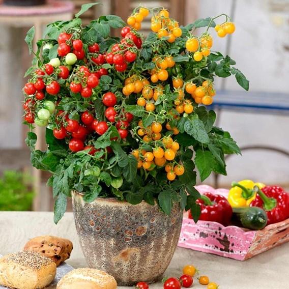 Tomato Sweet & Sturdy (1) P12