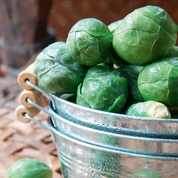 Brussels Sprout Crispus (6) P9