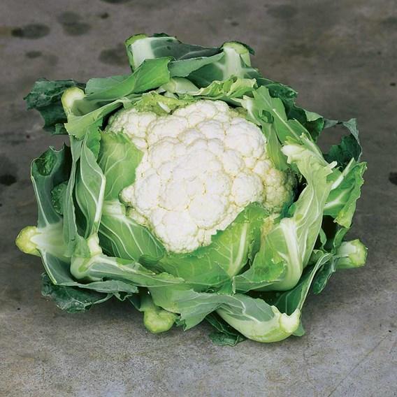 Cauliflower Clapton (6) P9