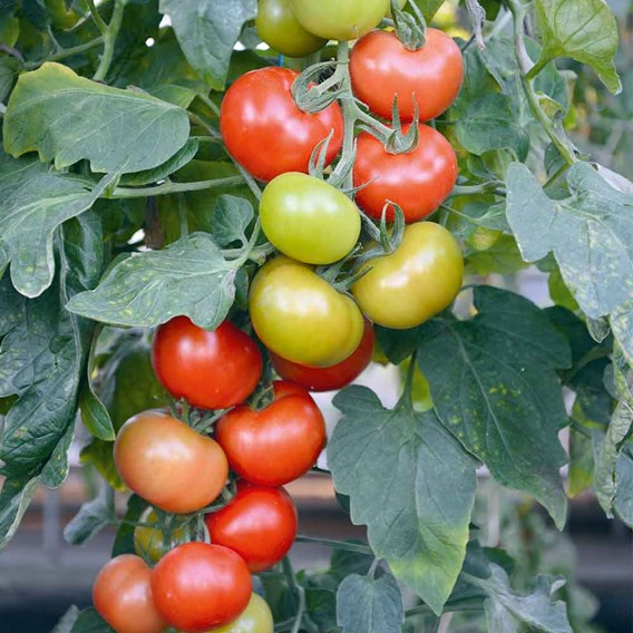 Tomato Grafted Crimson Collection (4)