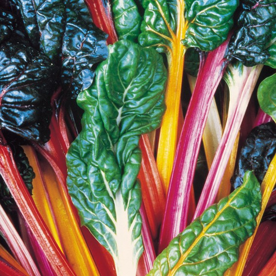Keep Cropping Swiss Chard Bright Lights - 6x9cm