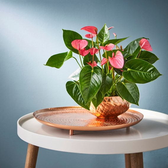 Anthurium Table Top Pink