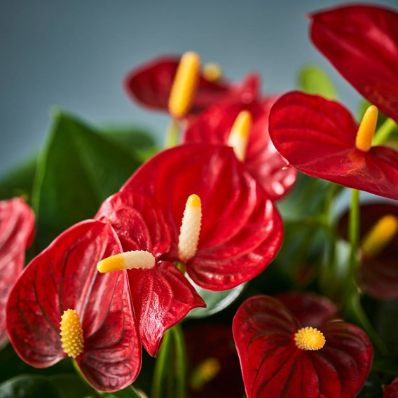 Anthurium Table Top Red