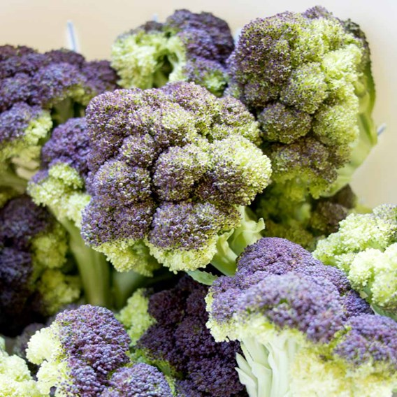 Broccoli Jacaranda (6) P9