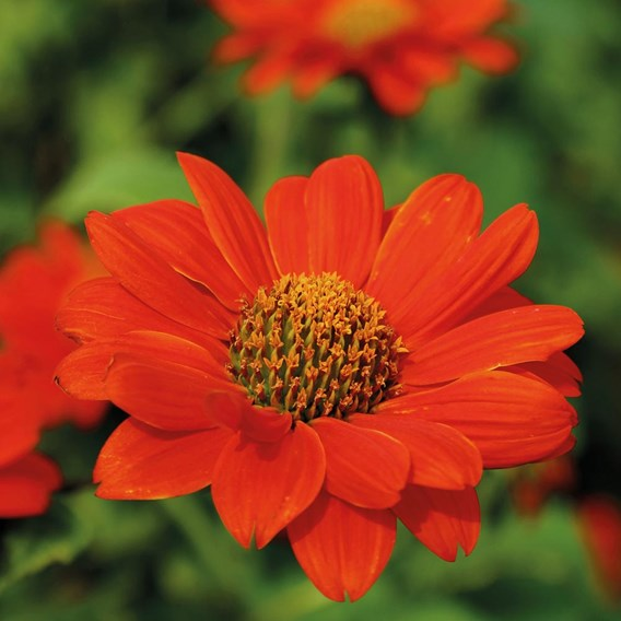 Tithonia Red Torch