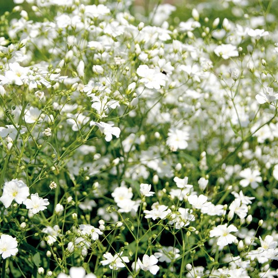 Gypsophila Covent Garden Mixed