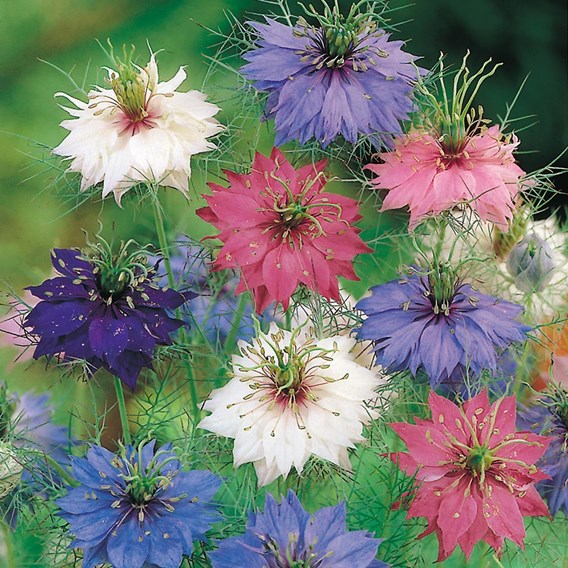 Nigella Seeds - Persian Jewels