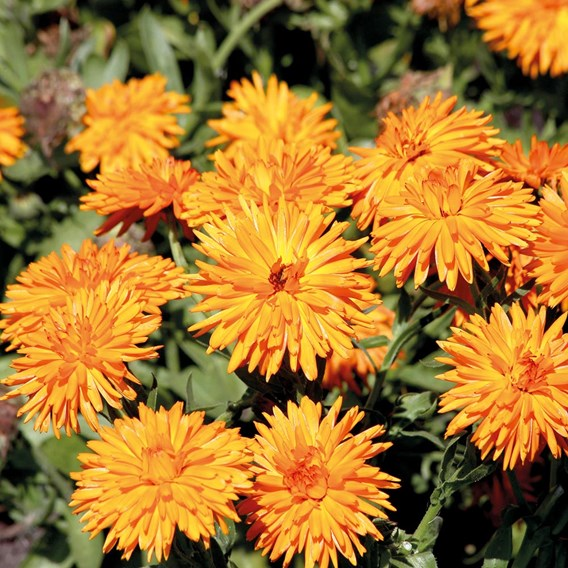 Calendula Seeds - Calexis Orange