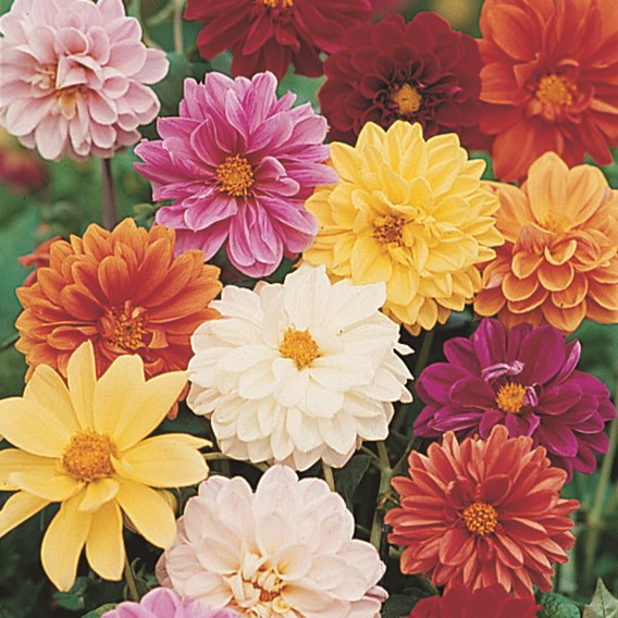 Dahlia Seeds - Dwarf Amore Twin Pack