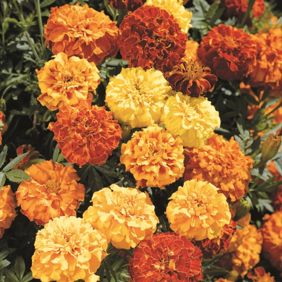 Marigold (Afro-French) Seeds - Zenith Mixed F1 Bulk Pack