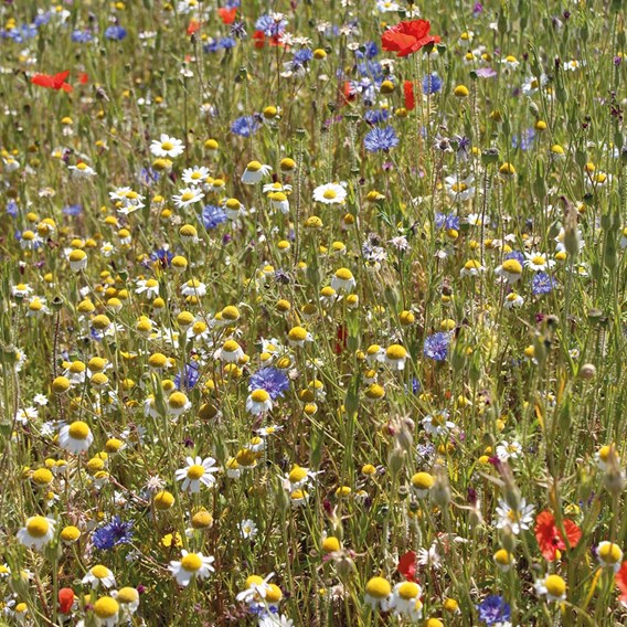Cornfield Annuals Mix