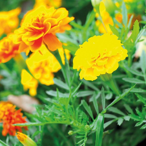 Marigold (French) Seeds - Defender Mixed