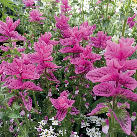 Salvia horminum Pink Sunday (Clary sage)
