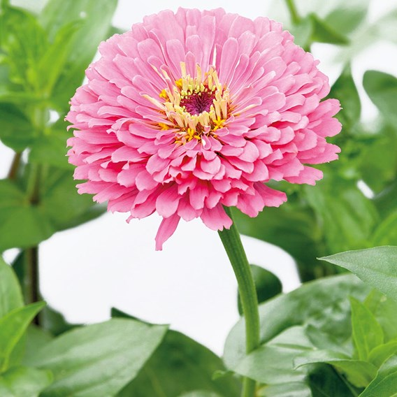 Zinnia Illumination