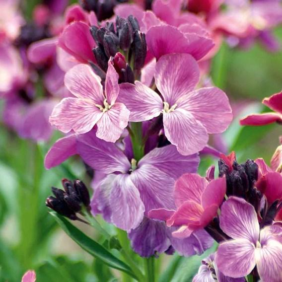 Wallflower Seeds - Sunset Purple F1