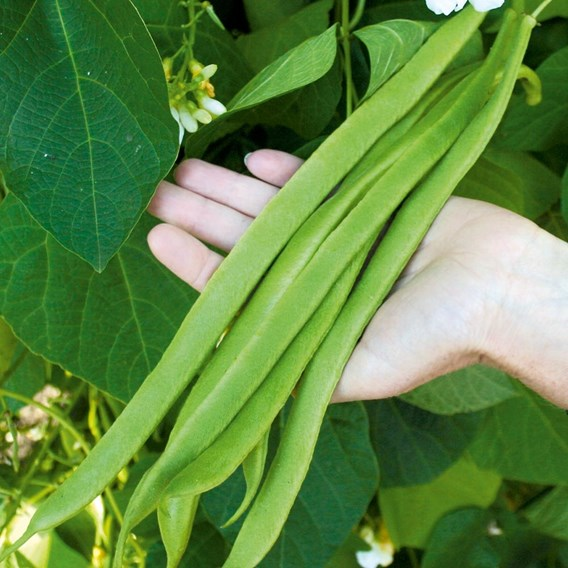 Runner Bean Seeds - Moonlight  Bulk Pack