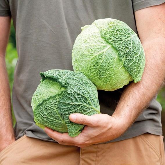 Cabbage Savoy D'Aubervilliers