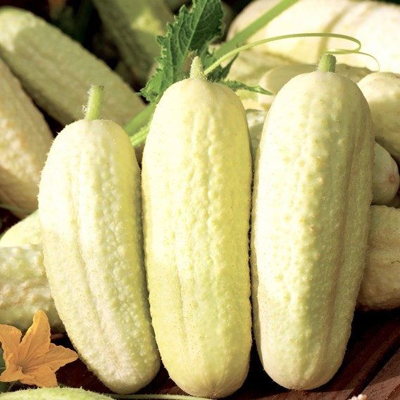 Cucumber White Wonder