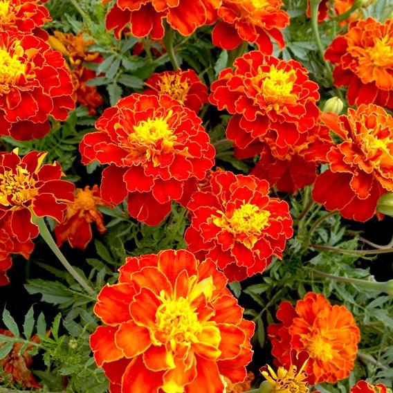 Marigold (French) Seeds - Firebird