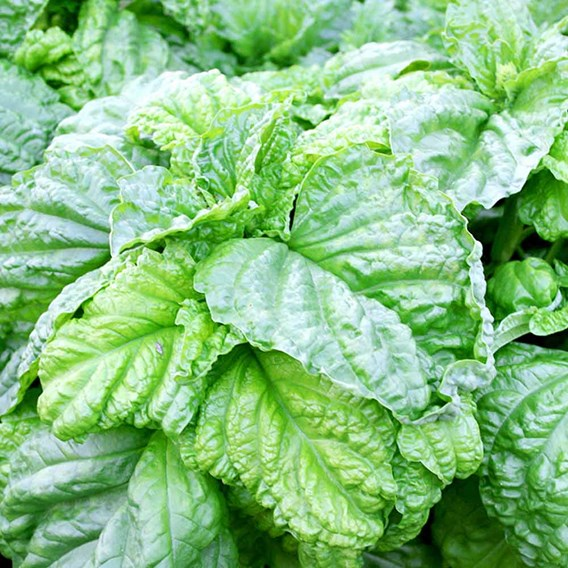 Basil Lettuce Leaf