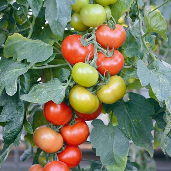 Tomato Seeds - Crimson Crush F1