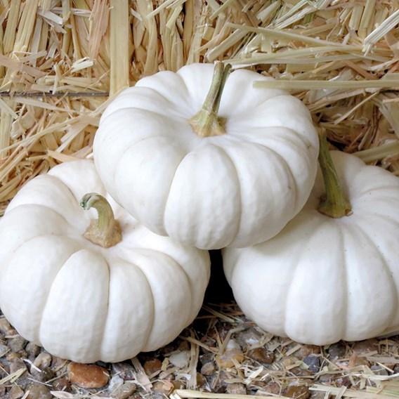 Pumpkin Old Boer White