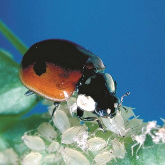 Ladybirds Larvae 100 + Release Bag