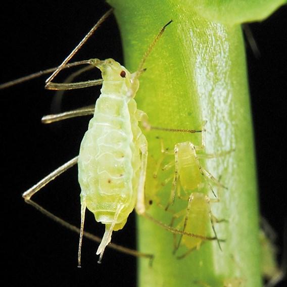 Greenfly killer tube 50