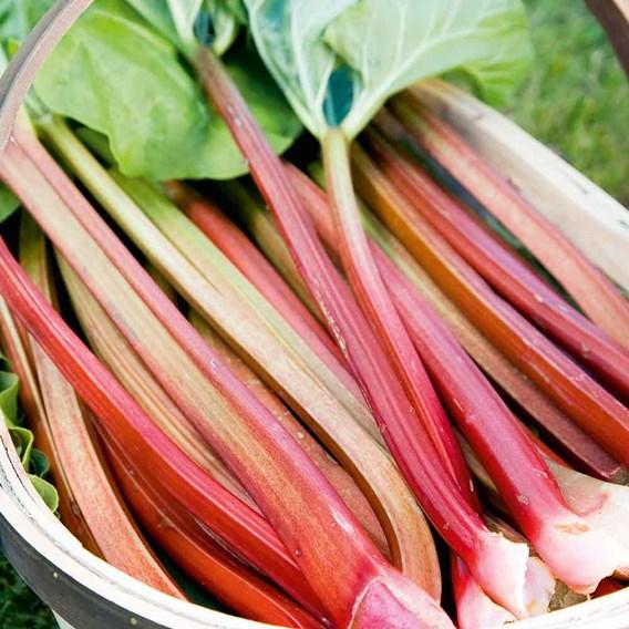Rhubarb Timperley Early (1)