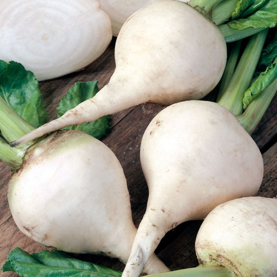 Beetroot Albino White