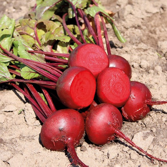 Beetroot Seeds - Egyptian Turnip Rooted